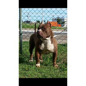 Pitbull Monster Extreme Pit Bull Puro Com Pedigree Cbkc