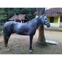 Cavalo Mangalarga Chipado E Registrado Animal Manso De Sela