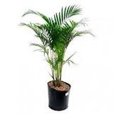 Palmeira Areca Bambu 40 A 80 Cm Vaso Com 5 Mudas