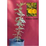 Arboles Pre - Bonsai Plantines