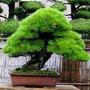 Sementes De Pinheiro Negro Japonês P/ Mudas Bonsai Ou Árvore