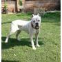 Excelente Cachorro Bóxer 7 Meses De Edad