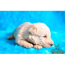 Filhotes De Scottish Terrier - Terrier Escocês ( Macho )