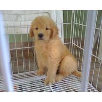 Cachorros Golden Para La Venta Con Papeles De Fca