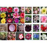 50 Sementes De Rosa Do Deserto - Adenium Obesum - Raras