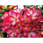 Bouquet Pink Rosa Deserto Muda Buquê