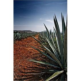 4 Mudas De Agave Azul (a Planta Da Tequila)