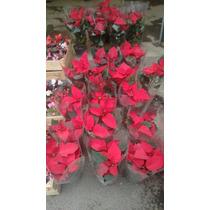 Noche Buena , Nochebuena ( Planta Chica Mayoreo 30 Pz )