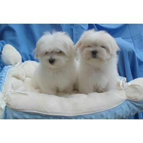 Hermosos Cachorros Bichon Maltes De Exhibición