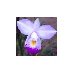 Mudas De Orquídea Arundina (ou Orquídea Bambú) Cor Hibrida