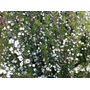 Leptospermum De Flor Blanca - Directo De Vivero Kirken