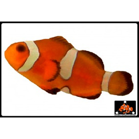 Peixe Palhaço Ocellaris Miss Bar ( Nemo) 2 A 3 Cm Marinho