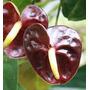 Antúrio Chocolate Mini ( Anthurium Andraenum ) - 20 A 30cm