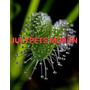 Plantas Carnivoras Capensis Moron Atrapa Moscas Julypets