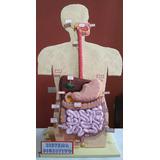 Maqueta Escolar Sistema Digestivo - Usada