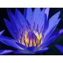 5 Sementes De Lótus (rosa Dos Lagos)