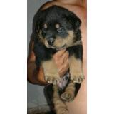 Rotwailler Rotwailer Rottweiller Cachorros Garantizados Puro