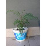Plantin De Jacaranda, 25 Cm, Pre-bonsai