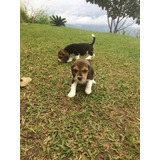 Machos Y Hembras Beagle Disponibles