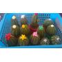 10 Cactus Crochet Para Souvenir Con Maceta 15 Cm.amigurumis