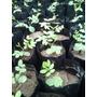 Vendo Plantones De Tara A Nivel Sur Del Peru