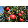 Serragem Macieira P/ Defumar 5kg + Manual Inox Ou Portatil