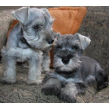 Cachorros Schnauzer Mini.. Puros Garantizados Sal Pimienta