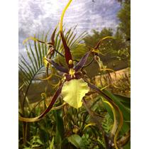 Muda Orquídea Aranha Negra Brassia Black Spider Pré Adulta