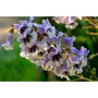 Paulownia Tomentosa Princess Tree - Kiri 350 Sementes Manual