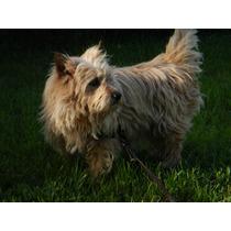 Cairn Terrier. Servicio.