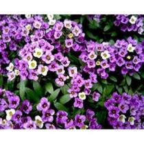 10 Sementes Alyssum Violeta Flor De Mel Flor Para Jardim