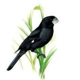 Hormônio Feromônio Natural Pássaro Bicudo Indutor Canto