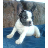 Bull Dog Frances 2 Machos Y 1 Hembra Inscritos Gran Pedigree