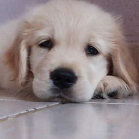 Filhotes De Golden Retriever Pedigree E Microchipados