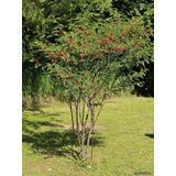 Acacia Roja / Acacia Mansa - Cañuelas