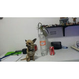 Chihuahua Cabeza De Manzana Macho Para Montas