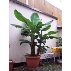 Planta De Plátano Enano ~ Manzano ~ Envío Gratis :)