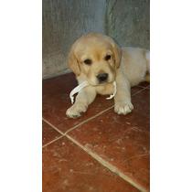 Cachorros De Labrador Hermosos Y Puros Con Pedigree Fca