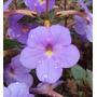 Kit 2 Mudas Violeta Pendente Lilás ( Achimenes Grandiflora )