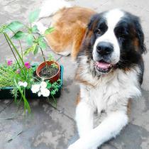 Cachorros San Bernardos