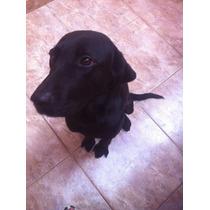 Doação Labrador Adulto Raça Pura ( Fêmea )