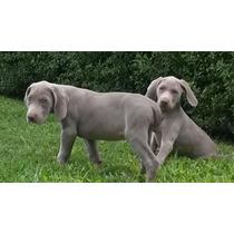 Cachorros Weimaraner C/p