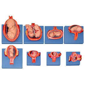 Desarrollo Embrionario Modelo Anatomico Obstetricia Zeigen