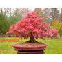 10 Semillas Arce Rojo, Bonsai, Cherry Blossom, Disponible