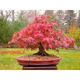 10 Semillas Arce Rojo, Bonsai, Cherry Blossom.etc + Obsequio