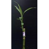 Mata O Palo De Bambu Natural 15cm Cs. 8586 Xavi