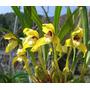 Mudas De Orquideas Maxillaria Picta