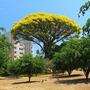 Plantines De Guapuruvu - (schizolobium Parahyba)