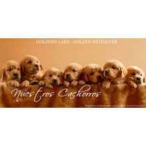 Cachorros Goldens Lake - Golden Retriever - F.c.a