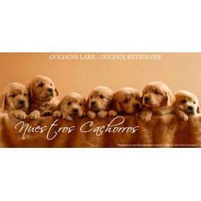 Cachorros Golden Retriever Excelente Pedigree F.c.a
